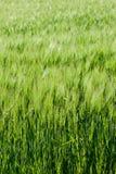 Campo de cereales verdes Imagenes de archivo