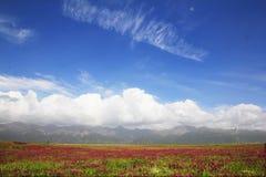 Campo de Chrysanth Fotografia de Stock