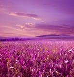 Campo de Chrysanth Foto de Stock
