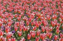 Campo de Chrysanth imagem de stock