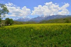 Campo de Chrysanth fotos de archivo