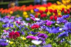 Campo de Chrysanth imagens de stock royalty free