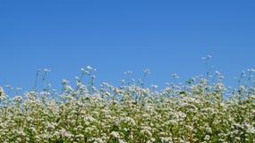 Campo de Chrysanth Foto de Stock Royalty Free