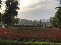 Campo de Chrysanth Foto de archivo