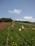 Campo de Chrysanth Imágenes de archivo libres de regalías