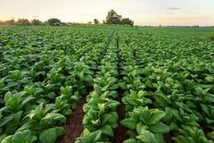 Campo de cigarro, crescimento de colheitas grande da folha do cigarro no campo da plantação do cigarro imagem de stock