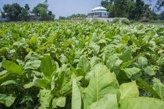 Campo de cigarro fora de Dhaka, Vatara, manikganj, Bangladesh Fotos de Stock