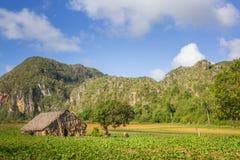 Campo de cigarro no parque nacional de Vinales, UNESCO, Pinar del Rio Province, Cuba foto de stock