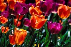 Campo de Closeu de tulipanes púrpuras y anaranjados. Fotografía de archivo libre de regalías