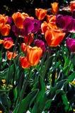 Campo de Closeu de tulipanes púrpuras y anaranjados. Foto de archivo libre de regalías