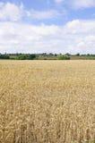Campo de colheitas do cereal Fotos de Stock Royalty Free