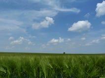 Campo de color verde oscuro de la cebada debajo del cielo azul con las nubes blancas fotografía de archivo libre de regalías