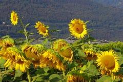 Campo de cultivo do girassol Fotografia de Stock