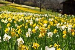 Campo de Daffodils amarelos e brancos foto de stock royalty free