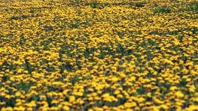 Campo de dentes-de-leão de florescência no dia ensolarado filme