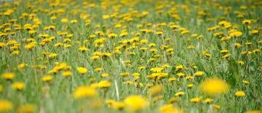 Campo de dientes de león amarillos Fotografía de archivo libre de regalías