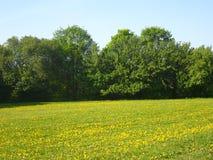 Campo de dientes de león amarillos y de árboles verdes Fotografía de archivo