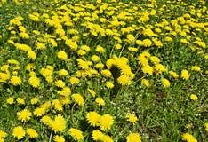 Campo de dientes de león florecientes en el día soleado Imagen de archivo libre de regalías