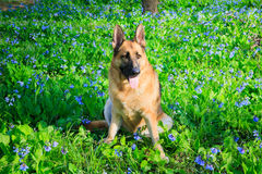 Campo de Dog Bluebell Wildflower do pastor alemão Imagens de Stock