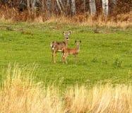 Campo de dois cervos de Whitetail Fotografia de Stock