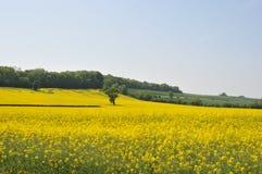 Campo de Dorset do rapeseed 1 foto de stock
