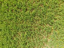 Campo de ervilhas novas As ervilhas no campo estão crescendo Leguminosa no campo Fotografia de Stock Royalty Free