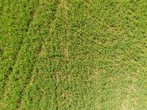 Campo de ervilhas novas As ervilhas no campo estão crescendo Leguminosa no campo Imagens de Stock