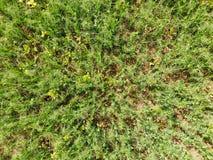 Campo de ervilhas novas As ervilhas no campo estão crescendo Leguminosa no campo Imagem de Stock