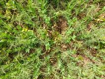 Campo de ervilhas novas As ervilhas no campo estão crescendo Leguminosa no campo Fotos de Stock