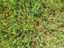 Campo de ervilhas novas As ervilhas no campo estão crescendo Leguminosa no campo Imagem de Stock Royalty Free