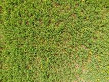 Campo de ervilhas novas As ervilhas no campo estão crescendo Leguminosa no campo Fotografia de Stock