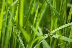 Campo de exploração agrícola da libélula em laos Imagem de Stock