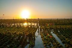 Campo de exploração agrícola das algas em Indonésia imagem de stock