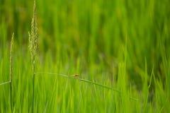 Campo de exploração agrícola do arroz da libélula em laos Imagem de Stock Royalty Free