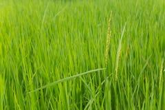 Campo de exploração agrícola do arroz em laos Fotos de Stock