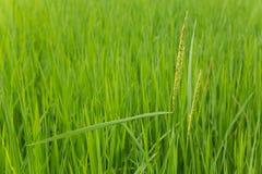 Campo de exploração agrícola do arroz em laos Fotografia de Stock