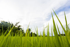 Campo de exploração agrícola do arroz no backdround do céu Fotografia de Stock Royalty Free