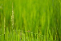 Campo de exploração agrícola verde do arroz da libélula em laos Fotografia de Stock Royalty Free