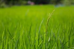 Campo de exploração agrícola verde do arroz em laos Fotografia de Stock