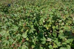 Campo de exploração agrícola do algodão Foto de Stock Royalty Free