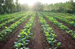 Campo de exploração agrícola do tabaco Fotografia de Stock