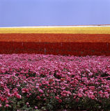 Campo de flor fotos de archivo