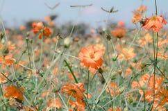 Campo de flor alaranjado fotos de stock royalty free