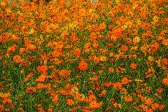 Campo de flor alaranjado fotografia de stock