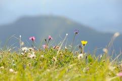 Campo de flor alpino no.1 Foto de Stock Royalty Free