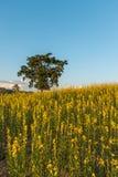 Campo de flor amarelo imagem de stock royalty free