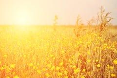 Campo de flor amarelo do vintage Fotografia de Stock