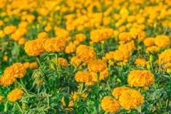 Campo de flor amarillo Imagenes de archivo