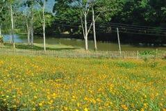 Campo de flor amarillo del cosmos Imagen de archivo libre de regalías