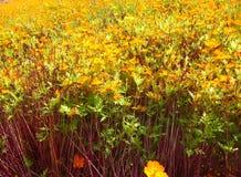 Campo de flor amarillo en el parque Foto de archivo